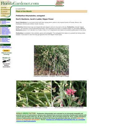 Pedilanthus tithymaloides variegated --Devil's Backbone, Jacob's Ladder, Slipper Flower