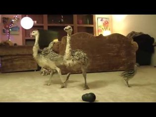 Baby Ostrich dance party