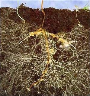 mycorrhizae-1-.jpg