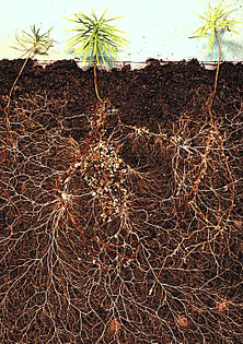 larch_roots.jpg