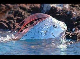 Oarfish: The Real Sea Serpent - Deepsea Oddities
