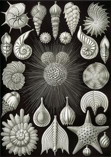 423px-Haeckel_Thalamphora.jpg