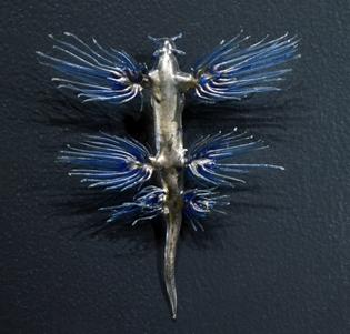 museum_histoire_naturelle_geneva_blaschka_glaucus_atlanticus_21102014.jpg
