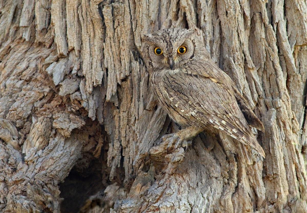 Zahoor Salmi, Eurasian Scops Owl