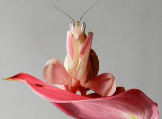 Mantis as orchid