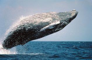 whalebreach_1000.jpg