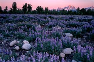lupine-teton-range-national-park-united-states.jpg